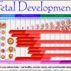 Fetal Development Chart